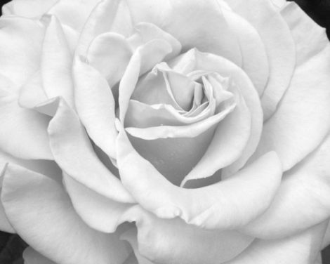 Black and white art rose print, grey flower photography, light gray floral wall art, girls wall art picture, bathroom powder room wall decor