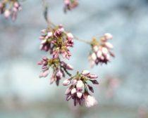 Spring nature photography print, aqua mauve pink nursery artwork, baby girls room decor, cherry blossom photo print 12x12, botanical picture