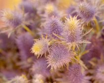 Floral photograph 11x14, 12x12 nature artwork, purple yellow flower print, girls room wall art, botanical picture Sea Holly, mustard yellow