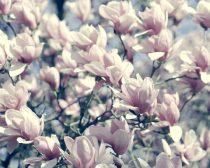 Floral bedroom art print, magnolia flowers photography, mangnolia tree, teal pale pink wall art, shabby chic art botanical print girls decor