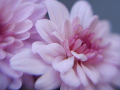 Pink Chrysanthemum flower photography, modern flower wall art pink girls bedroom wall decor floral fine art print, flower picture mauve blue
