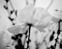 White wall art, black and white print, poppy flower photo print, floral picture 11x14 modern art print, white wall decor, nature photography