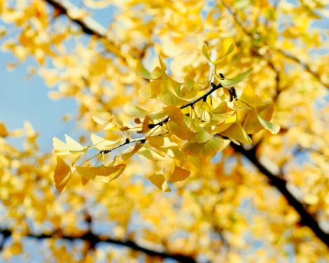 Yellow wall art, tree branch art, autumn leaves photograph, blue yellow picture 12x12 nature art print fall wall decor, yellow ginkgo biloba