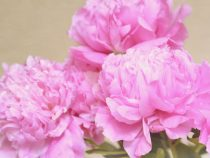 Peony wall art pink flower photography, peonies picture, floral artwork, peony bouquet still life print, living room art girls bedroom decor