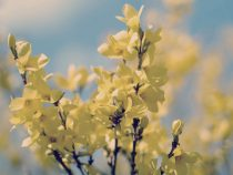 Forsythia photography, aqua yellow home decor, nature photo, floral tree branch picture, girls room wall art, floral wall print 12x12, 8x10