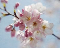 Sakura tree blossom, Japanese Cherry Blossom pink flower print wall art pastel nature art, white aqua pink floral baby girl room wall art