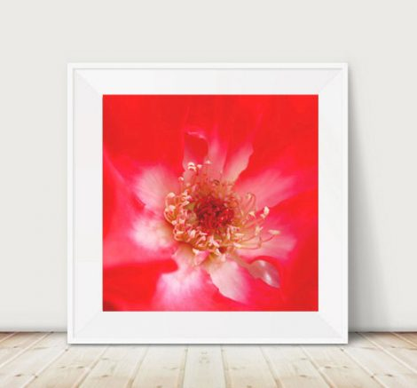 Red and white wall art, rose flower artwork, modern fine art print 12x12, 11x14, floral abstract art, flower stamens macro photography decor