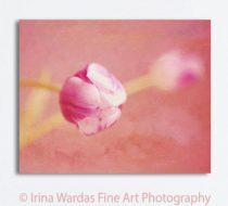 Large wall art canvas photography flower artwork, floral canvas wall art, tulip modern art, peach magenta coral wall decor living room art