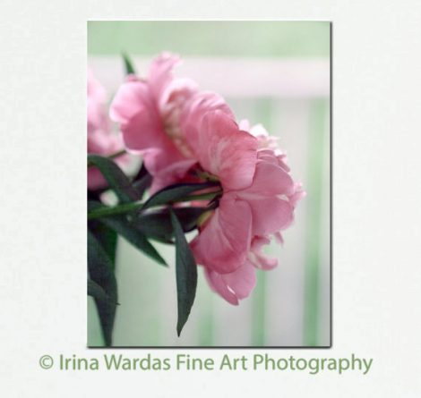 Peony wall art, pink peonies canvas art, peony photography, large floral gallery wrap, mint pink flower artwork bedroom wall art, vertical