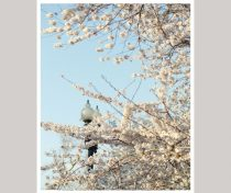 White Cherry Blossom photography print, Washington DC, Japanese Sakura tree floral branches, Cherry Blossom wall art, vertical wall picture
