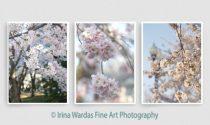 Cherry blossom set, vertical Cherry blossom pictures, DC Japanese sakura photography wall art set 3 11x14, 12x18 spring tree photo print set