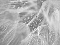 Dandelion wall art black and white photography, pale grey modern art, dandelion print, large wall decor macro photography, botanical print