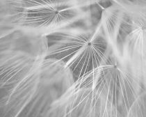 Dandelion wall art black and white photography, pale grey modern art, dandelion print, large wall decor macro photography, botanical print