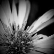FleursBW-3594pl..