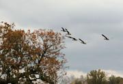 geese in flight..