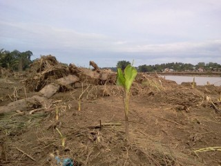 Hope for CDO. Banana shrubs stood strong despite strong & wild currents during FLOOD. This was taken at Balongis where residents used to have their houses settled. Across  the river is Cala-cala where more houses also been washed out by Sendong's Wrath.