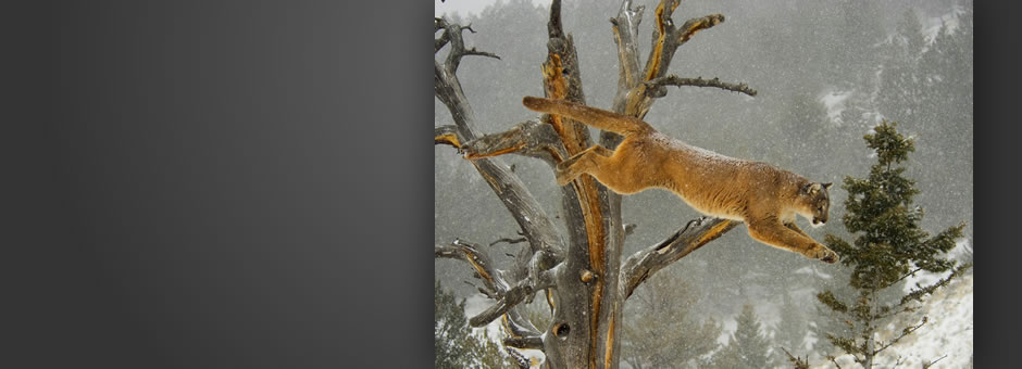 2011 Projected Image (Nature) FIAP Silver - Puma jumping through snow, David L Edwards