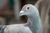 140410doncampbell_pigeons798a