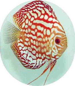 Discus cobalt red dragon