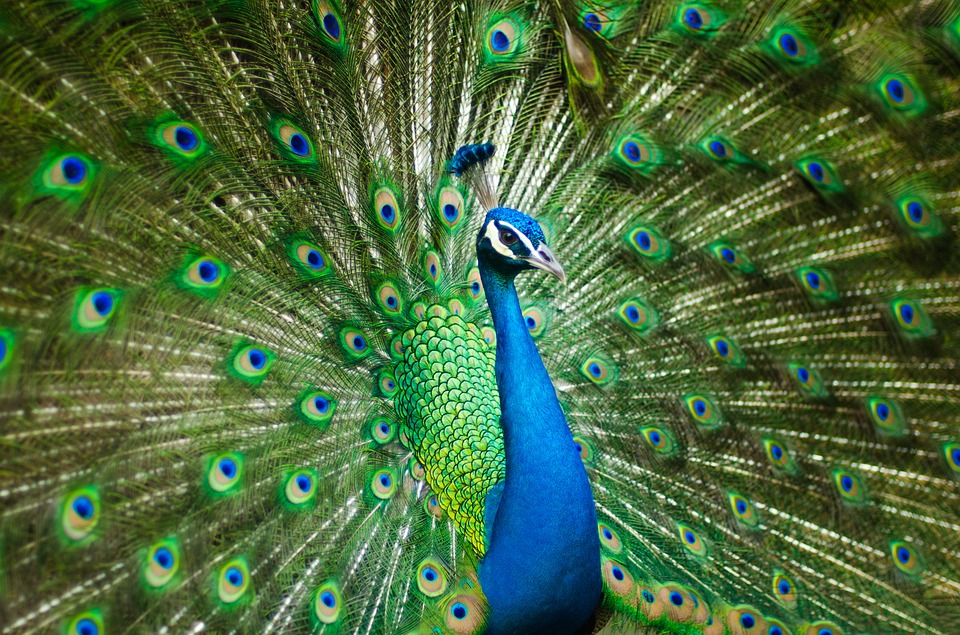 peacock-2363750_960_720
