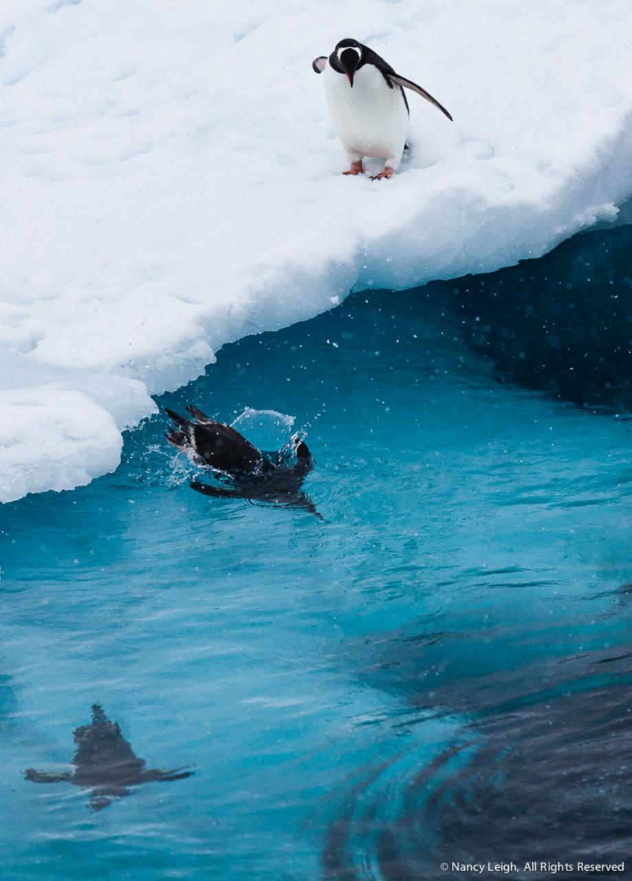Penguin Polar Plunge