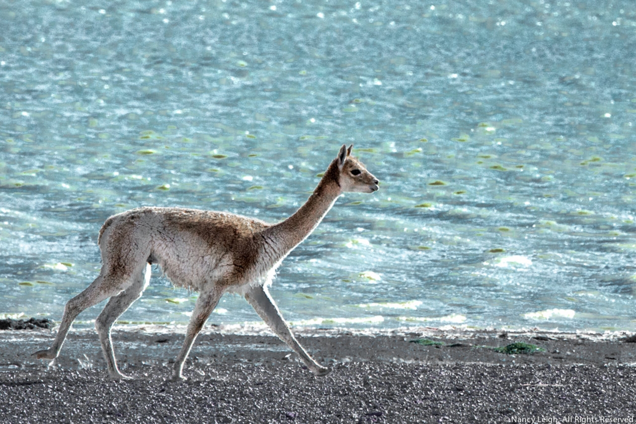 Vicuna Along the Shore