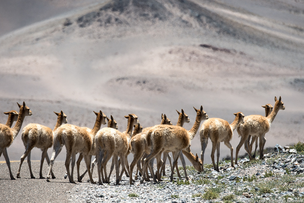 Vicuna Crossing