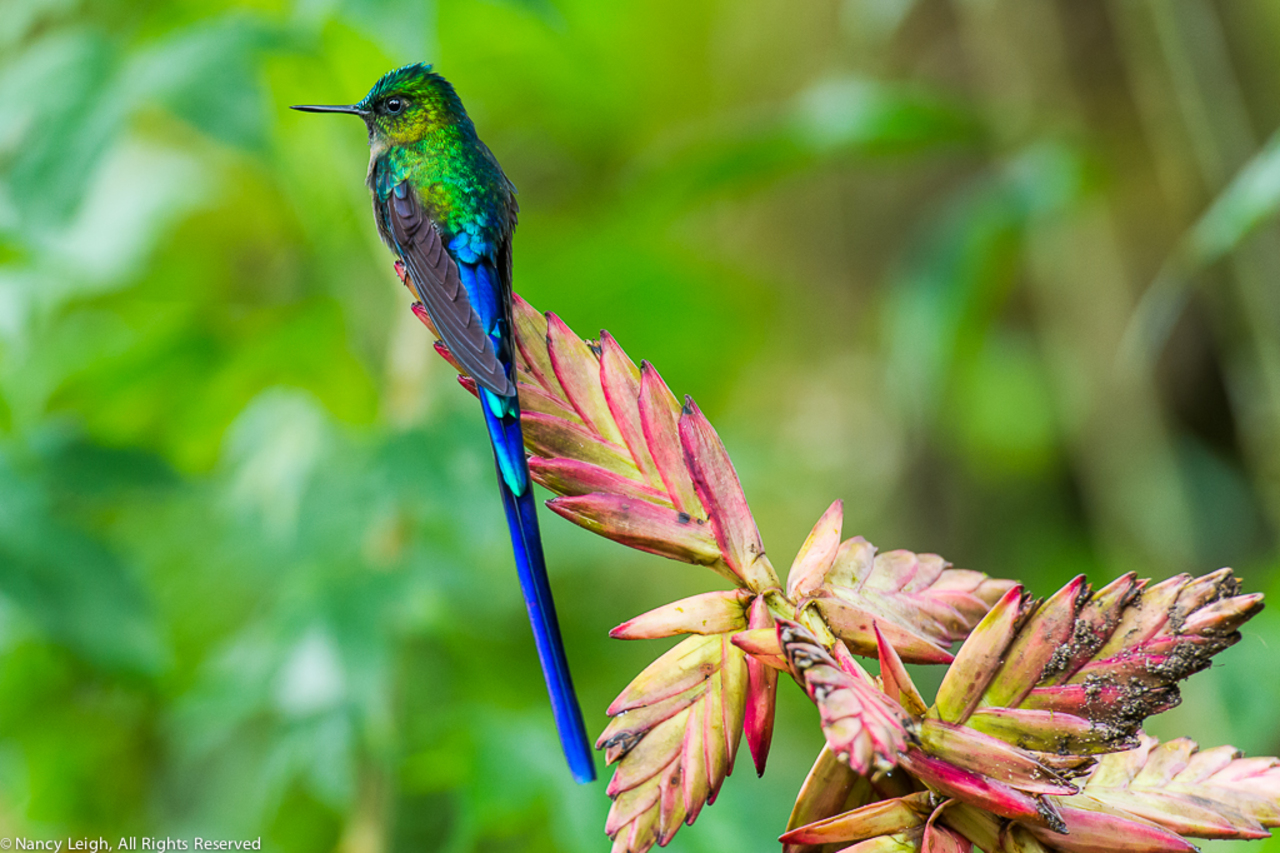 Long Tailed Sylph Hummingbird Perched on Bromeliad