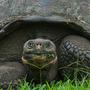 Grazing Galapagos Giant Tortoise