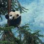 Panda Ball
