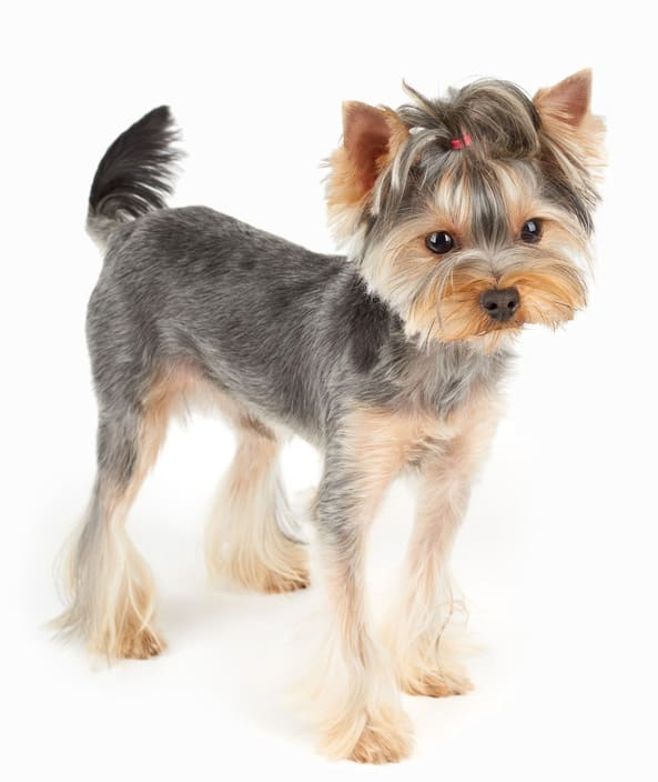 foto How to Care for Yorkshire Terriers