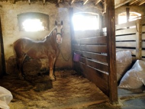 The youngest horse in the stable, Lucy, waited patiently before being fed