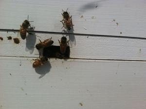 John Mint's bees flew around collecting pollen.