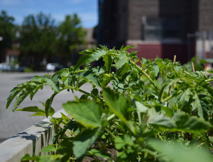 Vegetation at George W. Nebinger School in Bella Vista was put in last fall and similar plants and herbs will be featured at Hackett.