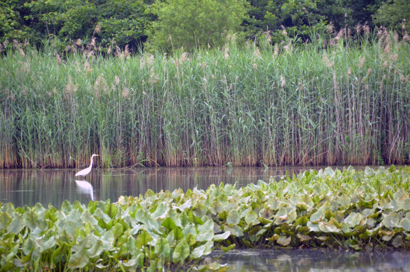 A Great Egret searches for food in the marsh.