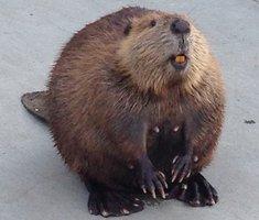 Episode 139: Beaver Retrievers