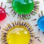 Ants Color Experiment by Mohamed Babu