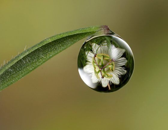 Passion Flower in Drop