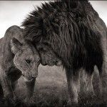 The Unfolding African Drama – Wildlife Portraits by Nick Brandt