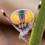A Blaze of Color – A Closer Look at Peacock Spiders by Dr. Jurgen Otto