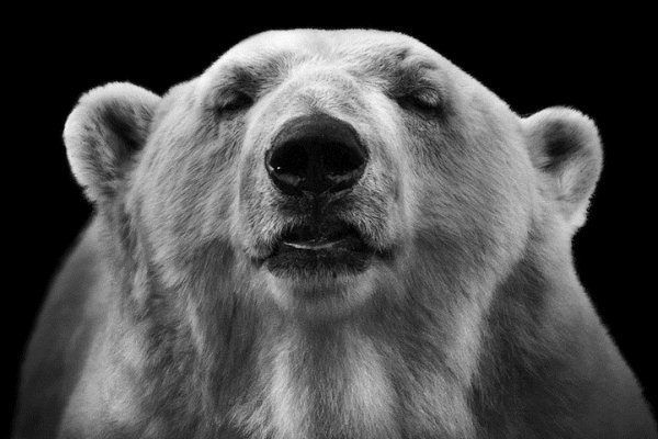 Pucker Up Dramatic Black And White Animal Photography By Wolf