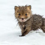 Foxes of Russia - Breathtaking photos of Russia's Wild Foxes by Ivan Kislov