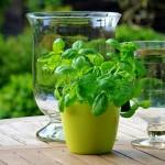 6 najładniej pachnących ziół – żywa ozdoba ogródka i restauracji!