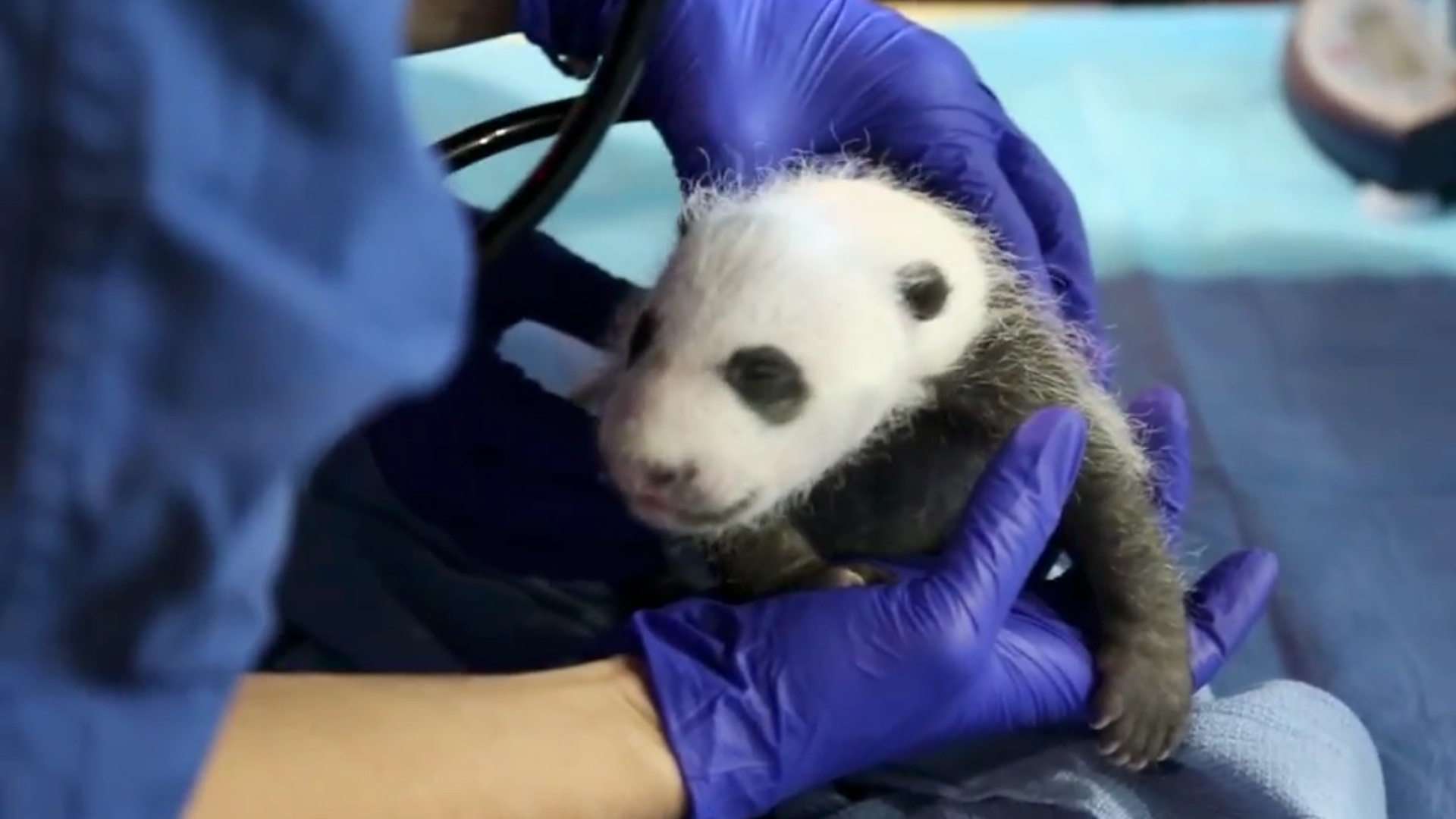 Growing Process from a Baby Panda to a Giant Panda