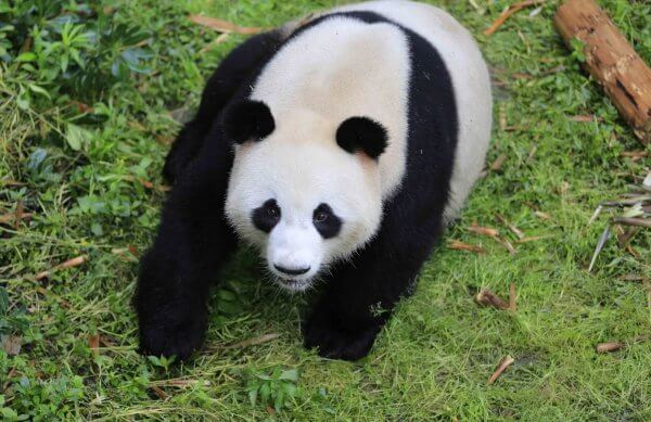Feature: Pandas from China ready to meet public in Berlin's new home