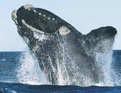 Caption: North Atlantic Right Whale, Credit: US Marine Mammal Commission