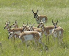 Caption: Pronghorn on the Marfa Plateau. , Credit: Mike Sullins/TPWD