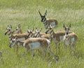 Pronghorn_small