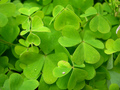 Shamrocks_small