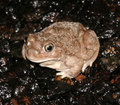 Spadefoot-photo-by-dingus-s_small